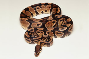 240107-1600x1030-ball-python-facts_1_300x200